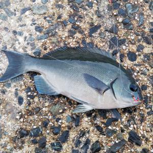 18日の釣果(コッパグロ、アジ)