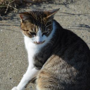 12月17日の駐車場の猫2 キジ白 灰白