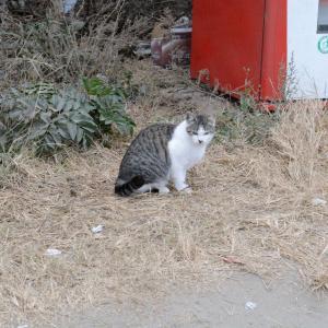 12月21日の駐車場の猫 ボブ 白 青 ボス