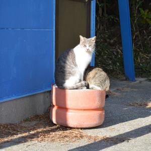 12月25日の駐車場の猫 灰白 ハナ ボス ボブ サビ