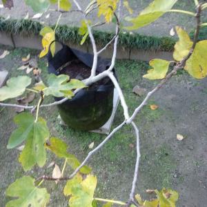 イチジクの葉が黄色くなり落ちています(桝井ドーフィン)
