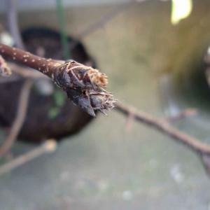 落葉後の梨の様子(にっこり)