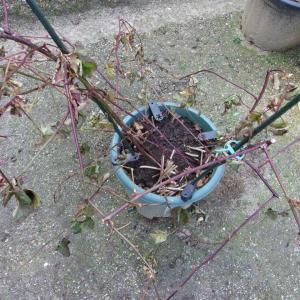寒波で葉が枯れたブラックベリーの様子(ソーンフリー)