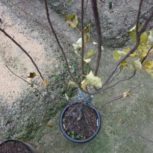 寒波の影響でほぼ落葉したりんごの様子(実生ふじ)