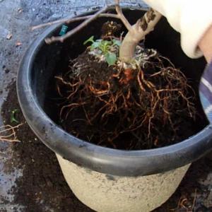 実生りんごBの樹を鉢増ししました(実生ふじ)