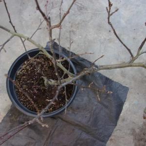 りんごを同じ鉢に植え替えしました(アルプス乙女)