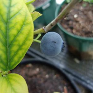 ブルーベリーの実が黒紫に色づきました(オニール)