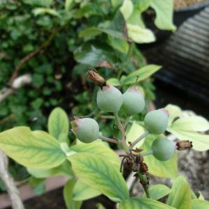 ブルーベリーの実が膨らんでいます(ノビリス)