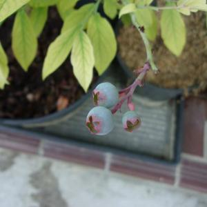 ブルーベリーの実が紫に色づいています(ウッダード)