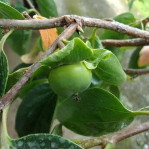 柿の実が膨らみ、小さい葉が赤くなり落葉しています(富有柿)