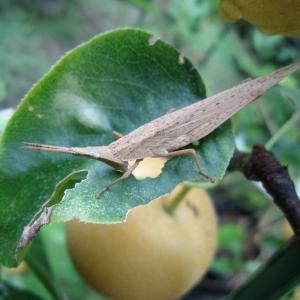 梨の葉がバッタにかじられています(にっこり)