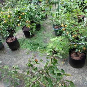 果樹と野菜に鶏ふんを施肥しました