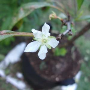 スモモに時季外れの花が咲きました(太陽)