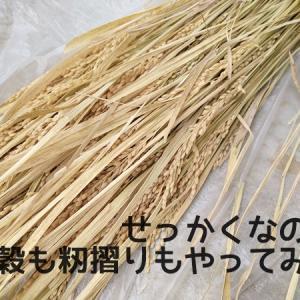 せっかくなので、脱穀も籾摺りもやってみた!