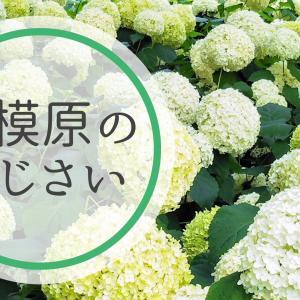 相模原北公園のあじさい開花状況【2021】6.24現在アナベルが見頃に!