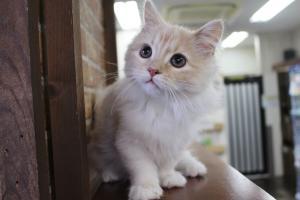 うちの猫達#1 ラムキンとマンチカンの観察日記