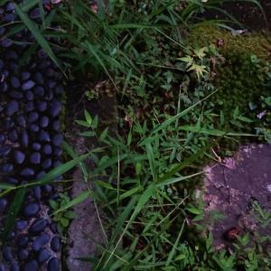 アレチヌスビトハギの生える庭