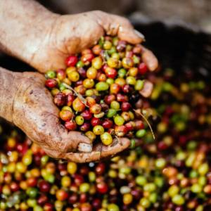 【徹底解説】コーヒーの実・コーヒーチェリーとは?味の特徴から過程まで