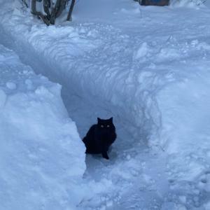 氷点下で散歩する北欧の猫