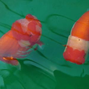 2歳魚ゆったりと冬眠を待つ