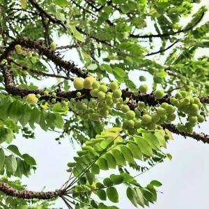 タイでアメダマノキ(Phyllanthus acidus)を観察