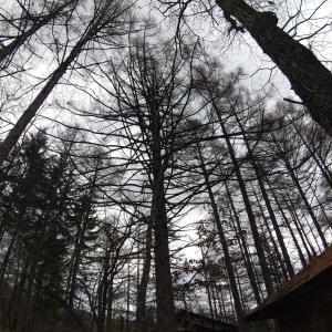 枝の多いカラマツ【テンカラ】の重量 参考まで