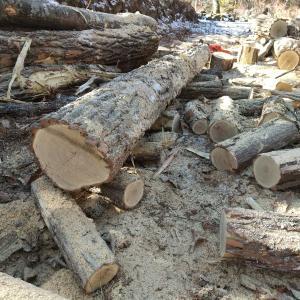 伐採してすぐの薪原木の重さと水分