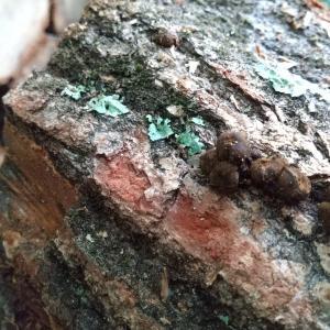 ナラの薪を黒く汚す【ゴムタケ】を食べてみる おいしくなかった