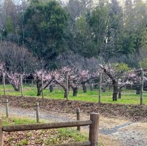 大和の 梅と桜