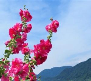 アジサイと新緑 その11 岡部のアジサイ② ヒラヒラの花