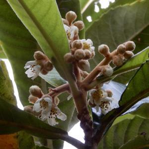 枇杷の花が咲きました😊