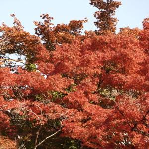 今日は鰹節の日 京都岩倉実相院の紅葉