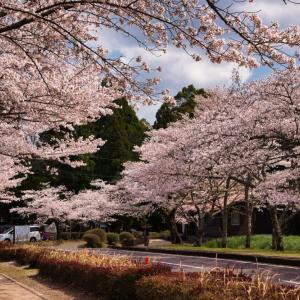 【忠元公園】は日本さくら名所100選に選ばれた鹿児島の桜の名所!