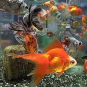 金魚はヒーターなしでも飼える?水槽の水温を保つ方法や温める代用品も紹介!