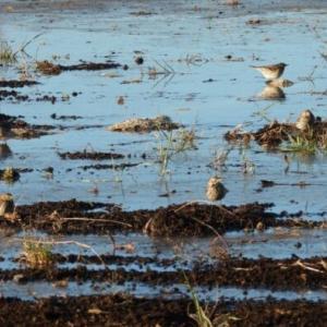 冬の農耕地で野鳥観察
