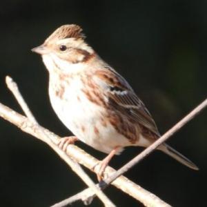 冬の農耕地で野鳥観察 #2