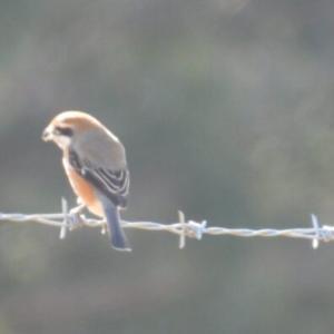 雉始雊 (きじはじめてなく)季節の、ご近所の鳥たち