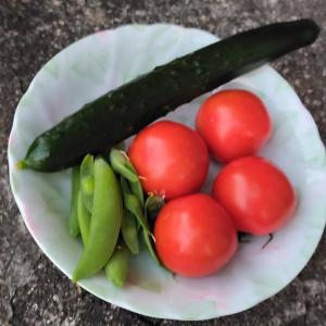 夏らしい収穫ができる様になってきました