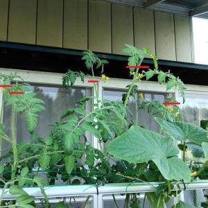 中玉トマトの摘芯