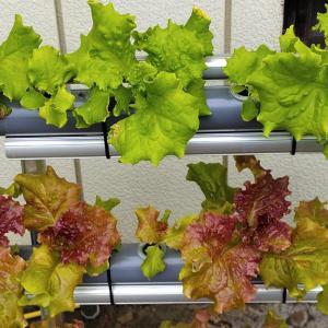 横型栽培装置の課題が見えて来た