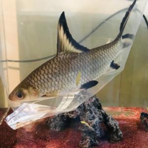 淡水魚追加