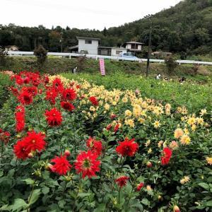 【宝塚ダリア園】ダリア祭の日に行ってきた!花の種類が多くて感動