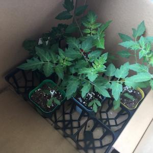 ベランダ菜園始めました。初心者なのでミニトマトを植えました。