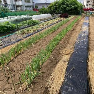 ネギ苗を植える
