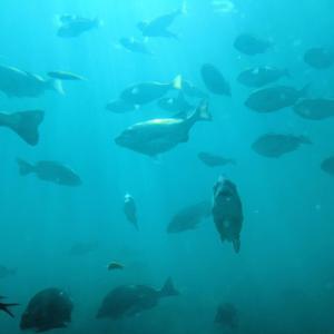 迫力のクロダイ泳ぐ海中世界『玄海海中展望塔』(唐津市)