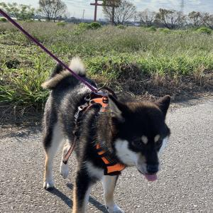 【柴犬】こはると便利なおすすめ散歩グッズ