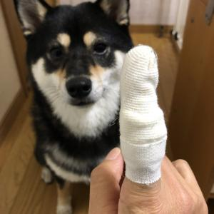 【柴犬】初の流血事件【噛まれた】