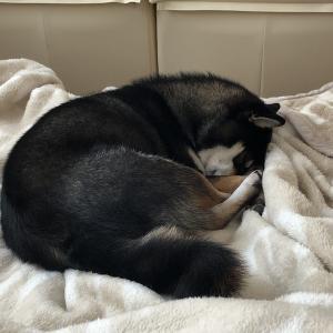 【柴犬】お昼寝タイム【夜勤明け】