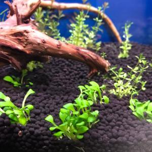 初めて植えた水草①【グロッソスティグマ】