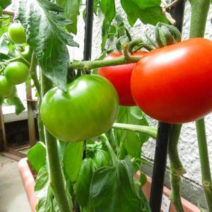 良い色に色付いてきた プランターのプチトマト